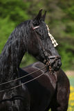 Black friesian mare in spring Royalty Free Stock Images