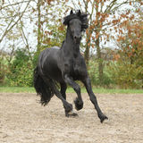 Black friesian stallion galloping on sand in autumn Royalty Free Stock Photo