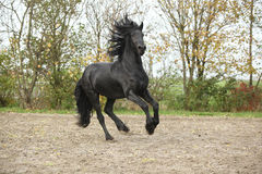 Black friesian stallion galloping on sand in autumn Stock Photography