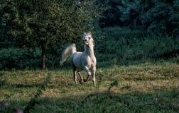 Black stallion fresian. Black friesian stallion gallops in the fog stock photo