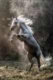 Black stallion fresian. Black friesian stallion gallops in the fog royalty free stock image