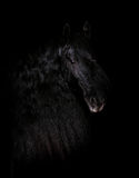 Black friesian stallion portrait isolated on black royalty free stock photo