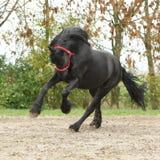 Black friesian stallion running on sand in autumn stock photography