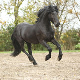Black friesian stallion running on sand in autumn