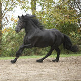 Black friesian stallion running on sand in autumn Royalty Free Stock Photo
