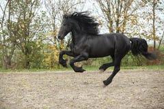 Black friesian stallion running on sand in autumn Royalty Free Stock Images