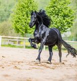 Black friesian stallion runs gallop in sunny day. In spring royalty free stock photo