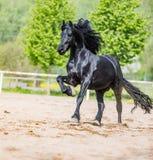 Black friesian stallion runs gallop in sunny day royalty free stock photo