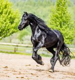 Black friesian stallion runs gallop in sunny day. In spring stock photo