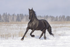 Black frisian horse Royalty Free Stock Image