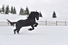 Black frisian horse gallop in snow in winter time royalty free stock photo