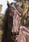 Black Frisian horse head Royalty Free Stock Images