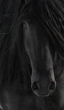 Black Frisian Horse Portrait. Close up Stock Image