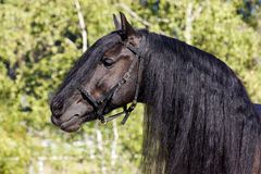 Black Frisian Horse Portrait Stock Images