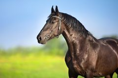 Black frisian horse portrait royalty free stock image