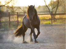 Black Frisian horse runs gallop in freedom Royalty Free Stock Photography