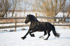Black frisian horse in winter royalty free stock photography