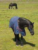 Black Frisian horses in meadow royalty free stock photos