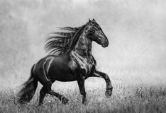 The black Frisian stallion in the autumn foggy field Stock Image
