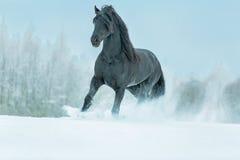 Black frisian stallion. Stock Images