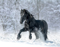 Black frisian stallion. Running in winter day Stock Image