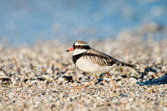 Black-fronted Dotterel, Australia Royalty Free Stock Photography