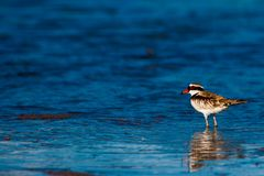Black fronted dotterel with refelctions in water Stock Photo
