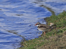 Black Fronted Dotterel 02 Royalty Free Stock Photography