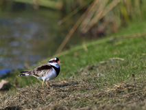 Black Fronted Dotterel 03 Stock Image