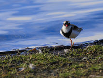 Black Fronted Dotterel 05 Stock Photo