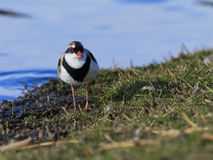 Black Fronted Dotterel 01 Royalty Free Stock Photos