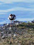 Black Fronted Dotterel 04 Royalty Free Stock Images