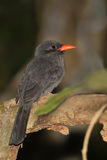 Black fronted Nunbird on a branch Stock Photos