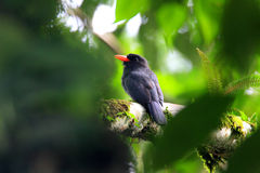 Black-fronted Nunbird Stock Photography