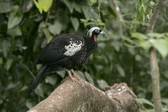 Black-fronted piping-guan, Penelope jacutinga Stock Photos
