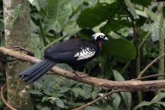 Black-fronted piping-guan, Penelope jacutinga Royalty Free Stock Images