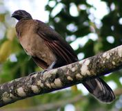 Black fronted piping guan wild Costa Rica turkey like bird Royalty Free Stock Photo