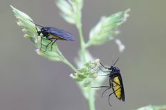 Black Fungus Gnat, Sciara thomae. On orchard grass Stock Photography