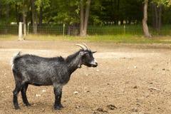 Black Funny Goat Royalty Free Stock Image