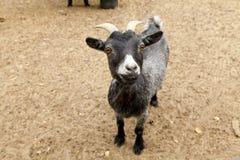 Black Funny Goat Royalty Free Stock Photos