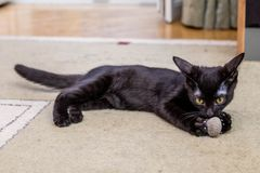 The black funny kitten is played with a toy mouse at home stock images