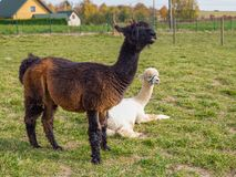 Black funny lama with white alpaca looking at the camera on green field, copy space stock photos