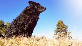 Black funny and sleepy curly dog sitting on a dry winter grass relaxing and catching warm morning sun stock photography