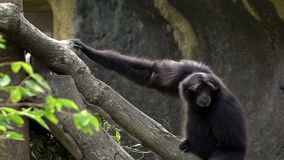 Black-furred gibbon is running to climbing a tree branches at zoo rainforest. A black-furred gibbon is running to climbing a tree branches at zoo. Captive stock video footage