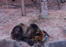 A bear sleeping on the rock stock images