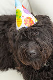 Black furry dog lying on white chair wearing a birthday party hat Royalty Free Stock Photography