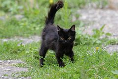Black furry kitty walking in grass royalty free stock image