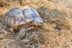 Black gaint tortoise at zoo Royalty Free Stock Photo