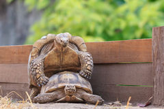 Black gaint turtle breeding in the zoo Royalty Free Stock Photo