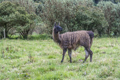 Black galapagos Lama grazes at the green meadow Royalty Free Stock Image
